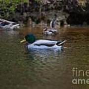 Lowcountry Duck Gathering Art Print
