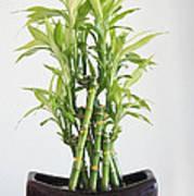 Lucky Bamboo Plant Art Print