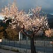 Luminous Almond Tree Art Print