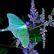 Luna Moth Astilby Flower Black Art Print