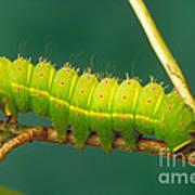 Luna Moth Caterpillar Art Print