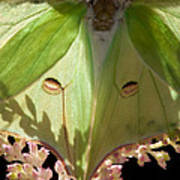 Luna Moth Faux Eyes Art Print