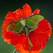 Luna Moth Orange Poppy Green Bg Art Print