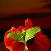 Luna Moth Poppy Evening Sky Art Print