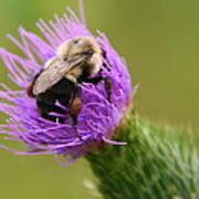 Lunching Atop A Thistle Art Print