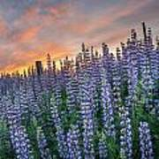Lupine Dawn Art Print