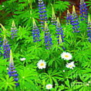 Lupines And Daisies 11 Art Print