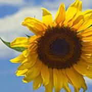 Lus Na Greine - Sunflower On Blue Sky Art Print