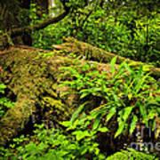 Lush Temperate Rainforest Art Print