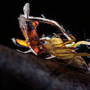 Lynx Spider With Prey Art Print