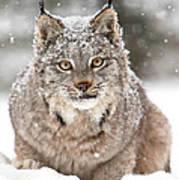 Lynx Stare Art Print