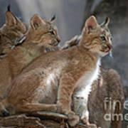 Lynx Trio Art Print