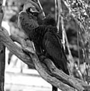 Macaws Of Color B W 15 Art Print