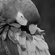 Macaws Of Color B W 17 Art Print