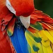 Macaws Of Color25 Art Print