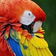 Macaws Of Color28 Art Print