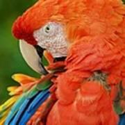 Macaws Of Color29 Art Print