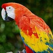 Macaws Of Color33 Art Print