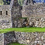 Machu Picchu - Grazing Lamas Art Print