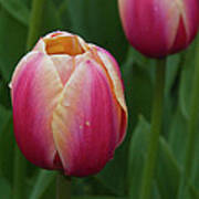Mackinac Tulip 10386 Art Print