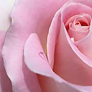 Macro Pink Rose Flower Raindrop Art Print