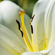 Madonna Lily - Featured 3 Art Print