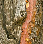 Madrone Tree Bark Art Print
