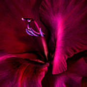 Magenta Gladiola Flower Art Print