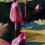 Magenta Lily Pads Art Print