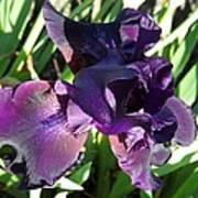 Magical Purple Iridescent  Iris Art Print