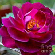Magical Rose Art Print