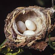 Magnificent Hummingbird Eggs Art Print