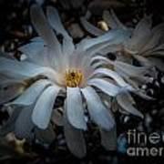 Magnoila Tree Blossum Art Print