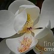 Magnolia 14-3 Art Print