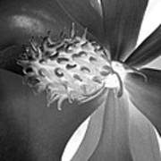 Magnolia Blossom - Photopower 2476 Bw Art Print