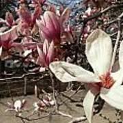 Magnolia Branches Art Print