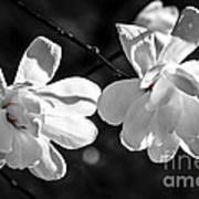 Magnolia Flowers Print by Elena Elisseeva