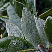 Magnolia  Leaves Art Print