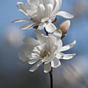 Magnolia Magnificence  3245 Art Print