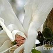 Magnolia One Art Print