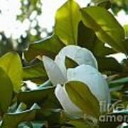 Magnolia Pair Art Print