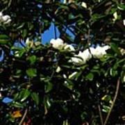 Magnolia Setting Art Print