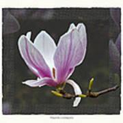 Magnolia soulangeana flower Art Print