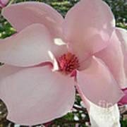 Magnolia Surprise Art Print