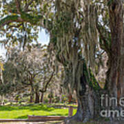 Majestic Live Oak Tree Art Print