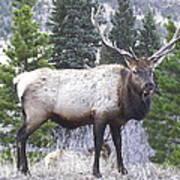 Majestic Elk Art Print