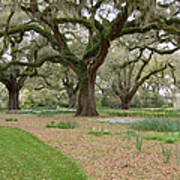 Majestic Live Oaks In Spring Art Print