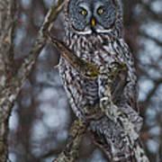 Majestic Owl Art Print