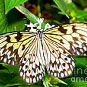 Malabar Tree Nymph Butterfly Art Print