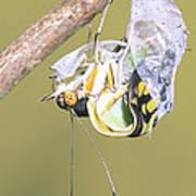 Malachite Butterfly Emerging 4 Of 6 Art Print
